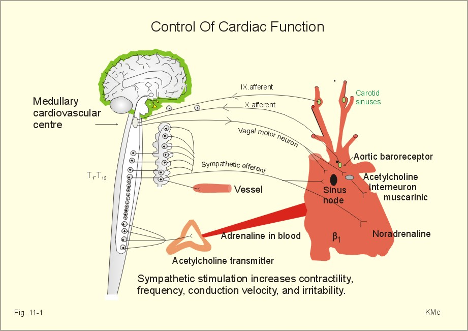 New Human Physiology Ch 11