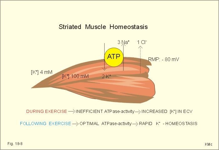 new human physiology ch 18, Muscles