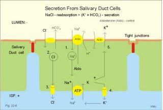 Salivary Secretion