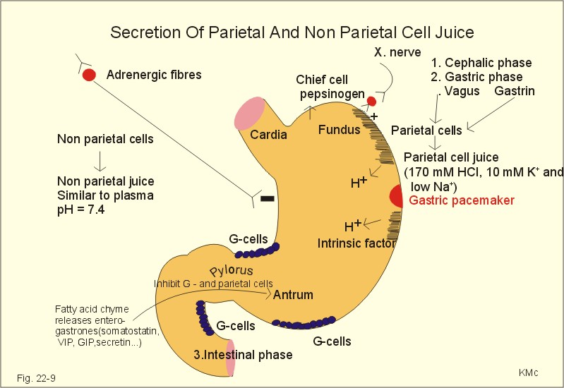 New Human Physiology Ch 22