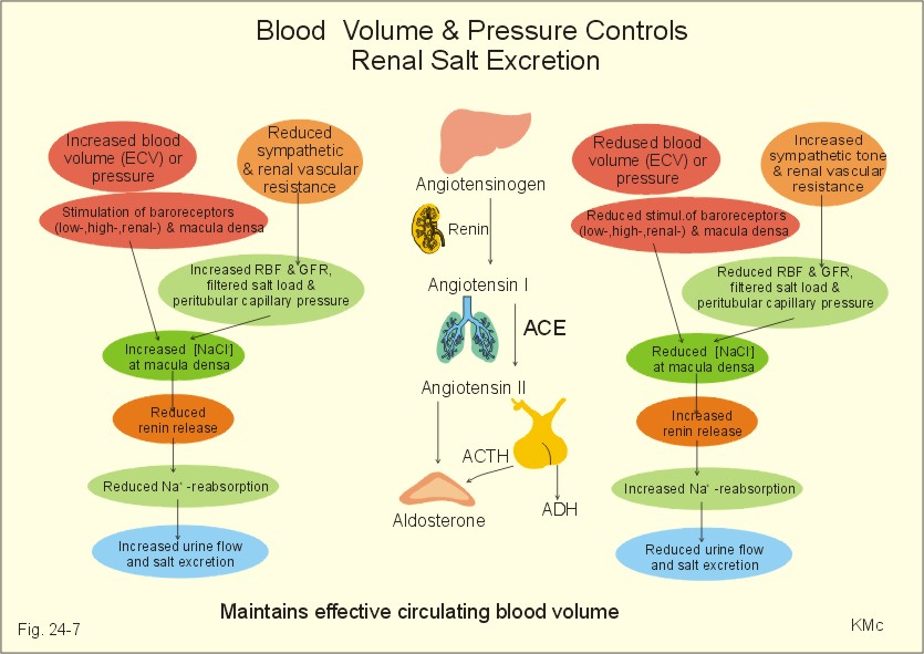 Blood Pressure Regulation
