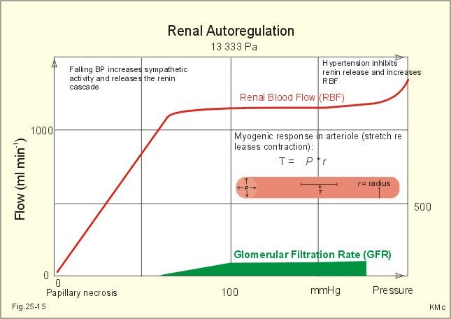 renal autoregulation