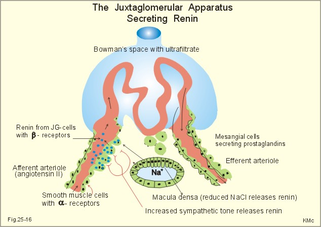 Extraglomerular Mesangial Cells renin secretion