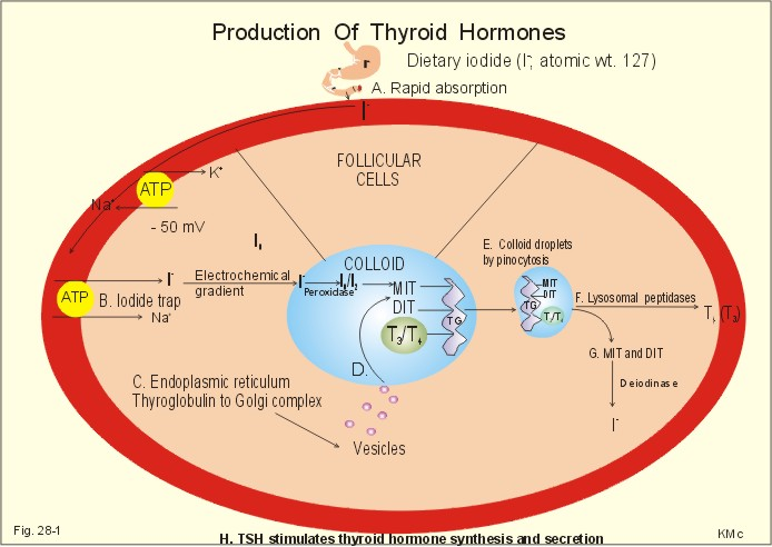 New Human Physiology Ch 28