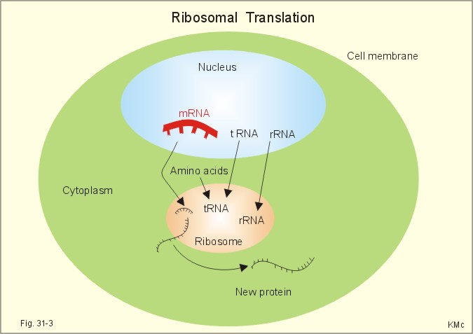 Diffusion the mrna diffuses through the nuclear membrane into