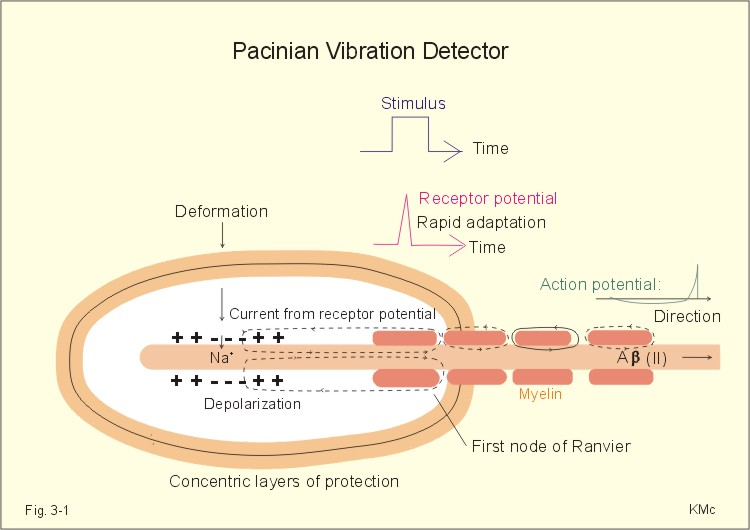pacinian corpuscles only respond to changes in Sensory systems/somatosensory system encapsulated receptors are the pacinian corpuscles and the polymodal receptors respond not only to intense.
