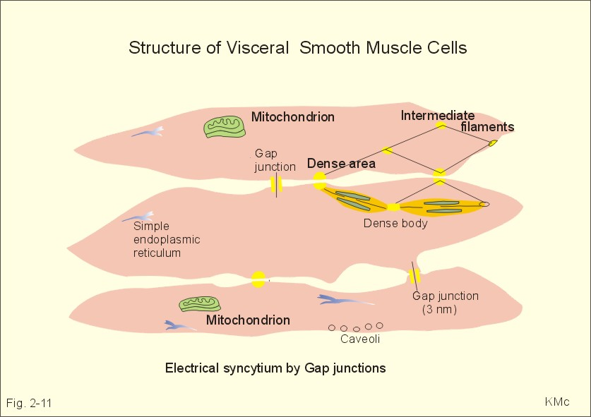 new human physiology ch 2, Muscles