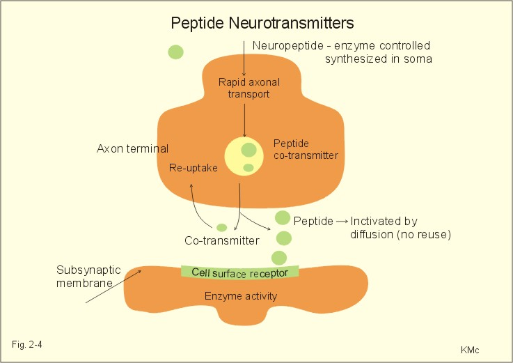 neuropeptides synthesise Peptides - a discussion and similar to palmitoyl pentapeptide-3, this member of the peptides stimulates the synthesis of collagen and hyaluronic acid in the deep.