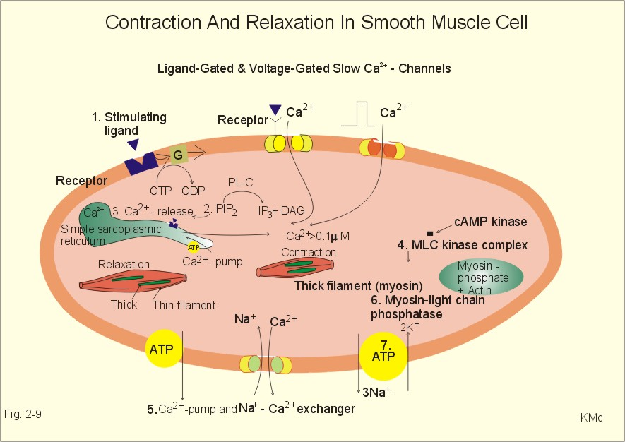 human muscle contraction – citybeauty, Muscles